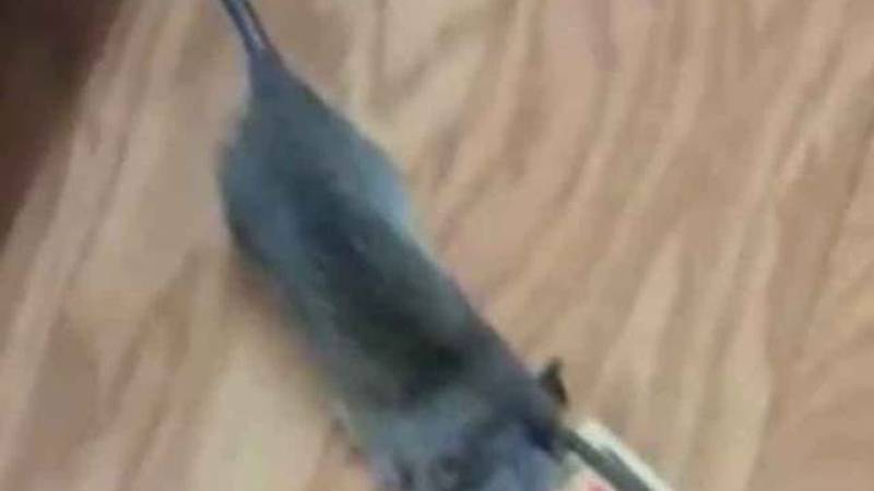 Tenants terrorized by rats in Palm Springs